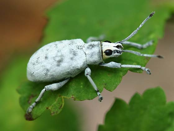 How can I get rid of Little Leaf Notcher Weevil that are